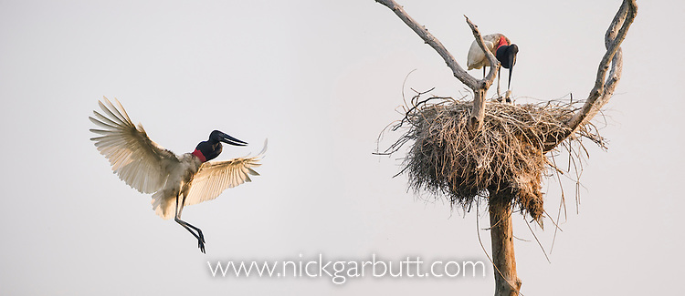 Jabiru Storks (Jabiru mycteria) - parent bird flying back to nest with other parent and chick. Taiama Ecological Reserve, Pantanal, Brazil.
