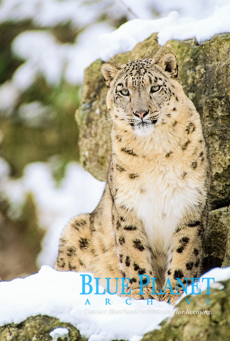 Snow Leopard (Panthera uncia), female, sitting in snow, captive