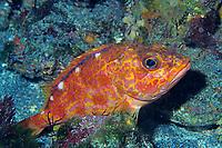 Yellowbarred red rockfish , Sebastiscus albofasciatus, Izu ocean park, Sagami bay, Izu peninsula, Shizuoka, Japan, Pacific Ocean