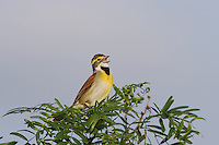 Dickcissel (Spiza americana), male singing,Sinton, Corpus Christi, Coastal Bend, Texas, USA