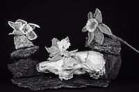 Still life with opossum skull, granite, and dead daffodils