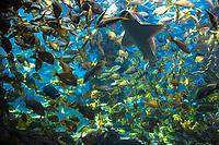 Underwater view with myriads of fish in turquoise water in the Atlantis Resort's big 500,000-gallon aquarium lagoon, Paradise Island, Bahamas