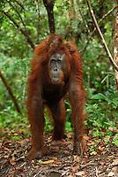 Borneo Orangutan (Pongo pygmaeus),  female with its baby riding on its back, Camp Leaky, Tanjung Puting National Park, Kalimantan, Borneo, Indonesia