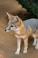 630700001 a captive wildlife rescue kit fox vulpes marcotis in its enclosure at a widlife rescue facility