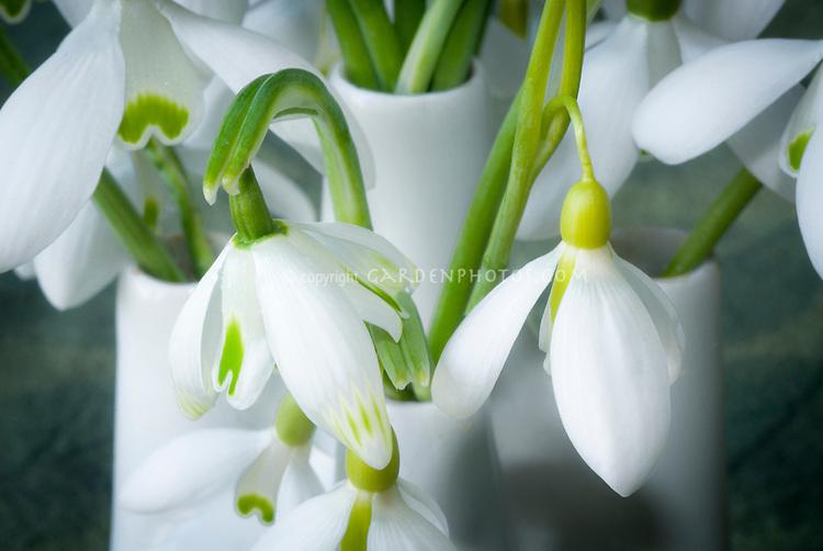 Galanthus 'Trym' snowdrops bulbs flowers iin vase picked, mixture of varieties