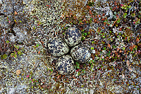 Black-bellied Plover (Pluvialis squatarola) inest and eggs. Yukon Delta National Wildlife Refuge, Alaska. June.