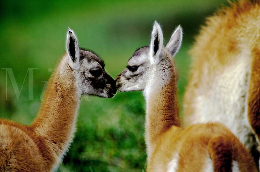 Two GUANACOS (Lama guanicoe) babies in TORRES DEL PAINE NATIONAL PARK - PATAGONIA, CHILE