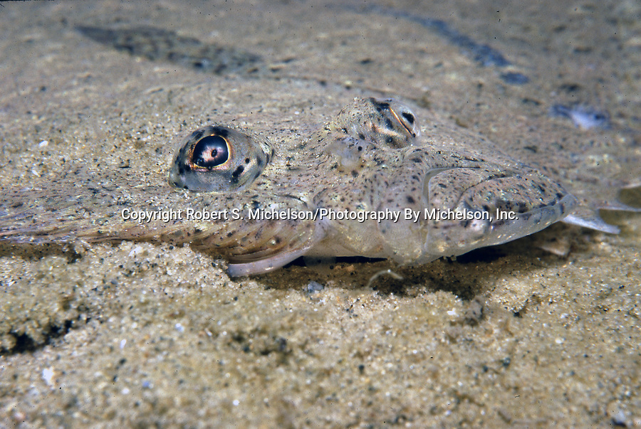 Windowpane Flounder close-up.