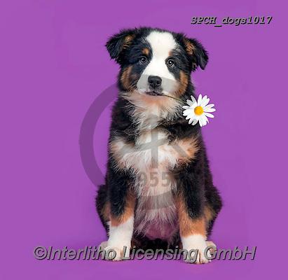 Xavier, ANIMALS, REALISTISCHE TIERE, ANIMALES REALISTICOS, dogs, photos+++++,SPCHDOGS1017,#a#, EVERYDAY