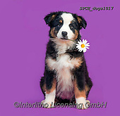 Xavier, ANIMALS, REALISTISCHE TIERE, ANIMALES REALISTICOS, dogs, photos+++++,SPCHDOGS1017,#a#, EVERYDAY