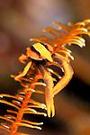Crinoid squat lobster (Allogalathea elegans)