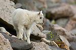 Rocky Mountain Goat Kid