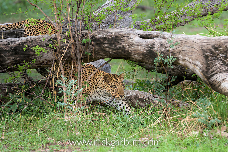 Male Leopard (Panthera pardus) stalking prey. South Luangwa National Park, Zambia.