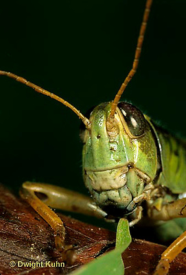 """OR03-045d  Grasshopper - eating leaf, short horned or """"true"""" grasshopper, two-striped grasshopper - Melanoplus bioittatus"""