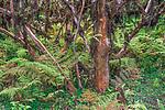 Galapagos, Ecuador Tree daisy (Scalesa pedunculata), Galapagos Islands