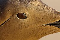 Common murre detail of the eye region