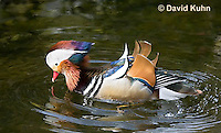 0310-1007  Drake (Male) Mandarin Duck, Aix galericulata  © David Kuhn/Dwight Kuhn Photography.