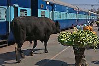 A Bull walking the Varanasi Train Station un disturbed India