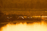African Spoonbill (Platalea alba) trio flying over lake at sunset, Kruger National Park, South Africa