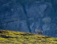 Big Horn Sheep. Glacier National Park, Montana