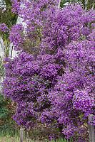 Prostanthera ovalifolia (Oval-Leaf Mintbush, Purple Mintbush) flowering shrub