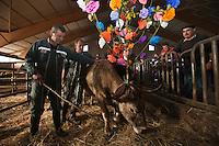 Europe/France/Midi-Pyrénées/12/Aveyron/Aubrac/Saint-Chély-d'Aubrac: Lors de la Fête de la transhumance en Aubrac chez Mr Niel éleveur de race Aubrac à Aulos - Les éleveurs décorent les bêtes de : fleurs, drapeaux, clarines