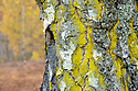 Mustard Powder lichen / Gold Dust lichen  (Chrysothrix candelaris) growing on trunk of Downy Birch (Betula pubescens) showing autumn colours. Glen Strathfarrar, Scottish Highlands. Scotland. October.