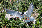 Endangered Roseate tern flying over tern colony with a fish in its' beak looking to feed its' young.