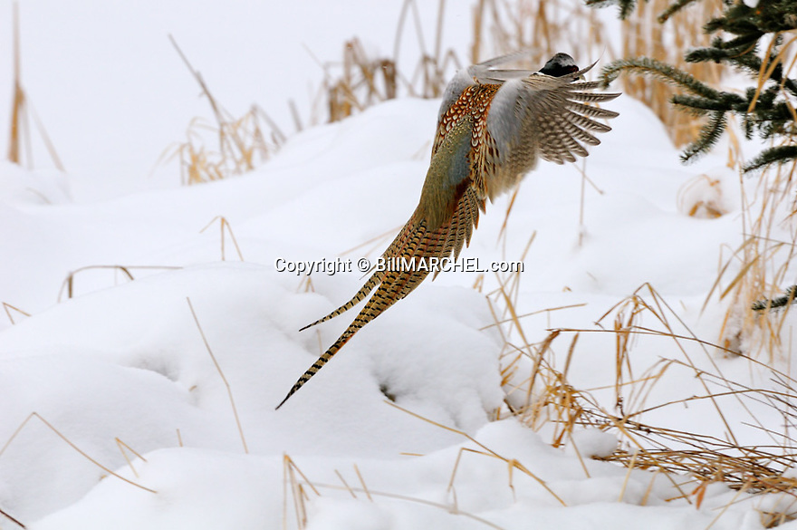00890-043.18 Ring-necked Pheasant rooser is about to land in shelterbelt of evergreens and grass during winter.  Cover, CRP, winter, cold.