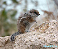 1117-0803  White-tailed Antelope Ground Squirrel, Ammospermophilus leucurus © David Kuhn/Dwight Kuhn Photography