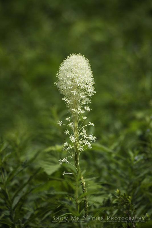 Bear Grass wildflower