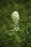 Bear Grass wildflower