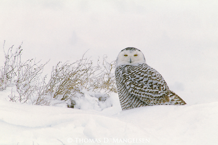 A snowy owl perches in the snow on the .Pacific Coast of British Columbia.