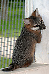 9 week old gray fox kitt sitting full body view facing right, vertical.