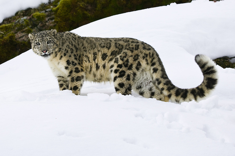 Snow Leopard watching from a mossy snow-covered ledge - CA