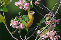 Female Northern Oriole (Icterus galbula) in apple tree sitting amongst the blossoms. Great Lakes Region. Spring