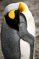 Sleepy King Penguin at Macquarie Island, Antarctica