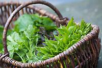 Frühlingskräuter ernten, Kräuterernte in einem Korb, Sammelkorb, Frühlingskräutersalat, Frühlings-Kräutersalat, Frühlingskräuter-Salat, Frühlingssalat, Salat aus Wildgemüse, Wildgemüsesalat, Wildgemüse-Salat, salad. Kräuterernte, Gewöhnlicher Giersch, Giersch, Geißfuß, Aegopodium podagraria, ground elder, herb gerard, bishop's weed, goutweed, gout wort, snow-in-the-mountain, English masterwort, wild masterwort, L'égopode podagraire, herbe aux goutteux, podagraire, Aegopode, Blatt, Blätter, leaf, leaves. Knoblauchsrauke, Gewöhnliche Knoblauchsrauke, Knoblauchrauke, Knoblauch-Rauke, Knoblauchs-Rauke, Lauchkraut, Knoblauchskraut, Knoblauchhederich, Knoblauchshederich, Alliaria petiolata, Hedge Garlic, Jack-by-the-Hedge, Garlic Mustard, garlic root, Alliaire, L'Alliaire officinale, Herbe à ail. Gänseblümchen, Tausendschön, Bellis perennis, English Daisy, Daisy, common daisy, lawn daisy, la Pâquerette, la pâquerette vivace. Gundermann, Gewöhnlicher Gundermann, Efeublättriger Gundermann, Glechoma hederacea, Alehoof, Ground Ivy, Lierre terrestre. Bärlauch, Bär-Lauch, Allium ursinum, wild garlic, Ramsons, Wood Garlic, buckrams, broad-leaved garlic, Wood-Garlic, L'ail des ours, ail sauvage. Beifuß, Gewöhnlicher Beifuß, Beifuss, Artemisia vulgaris, Mugwort, common wormwood, wild wormwood, wormwood, L'Armoise commune, L'Armoise citronnelle. Bitteres Schaumkraut, Bitter-Schaumkraut, Falsche Brunnenkresse, Bitter-Schaumkraut, Bitterkresse, Wildkresse, Wild-Kresse, Wilde Kresse, Kressen-Schaumkraut, Cardamine amara, Large Bitter-cress, Large Bittercress, La Cardamine amère