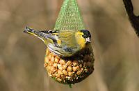 Erlenzeisig, Männchen an Nuss-Säckchen, Vogelfütterung, Erlen-Zeisig, Zeisig, Carduelis spinus, Spinus spinus, siskin