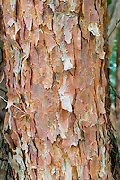 Pinus densiflora pine tree trunk bark, conifer evergreen