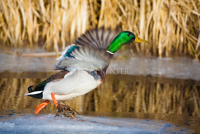 A Mallard Drake taking off from a patch of ice in a creek in western Montana
