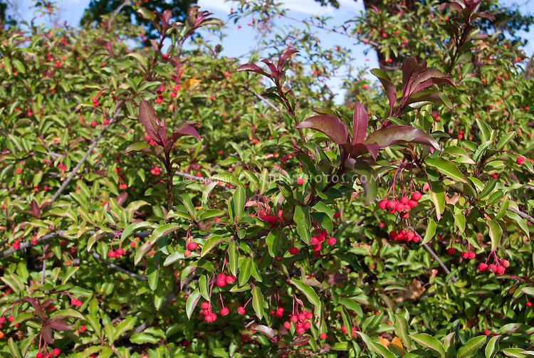 Stranvaesia davidiana var. undulata cv. prostrata aka Photinia davidiana aka Stransvaesia (rose Family) in late autumn berry berries fruit November fall color