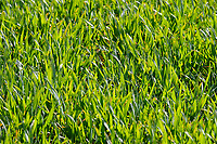 13-4-2021 Winter wheat in Rutland <br /> ©Tim Scrivener Photographer 07850 303986<br />      ....Covering Agriculture In The UK....