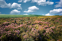 Wild heather near Ballycastle. Northern Ireland