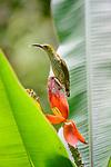 Bornean Spiderhunter (Arachnothera everetti) feeding at a wild banana flower. Danum Valley, Sabah, Borneo.