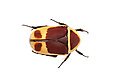 Sun Beetle {Pachnoda marginata peregrina} photographed on a white background. Captive, originating from west and central Africa website