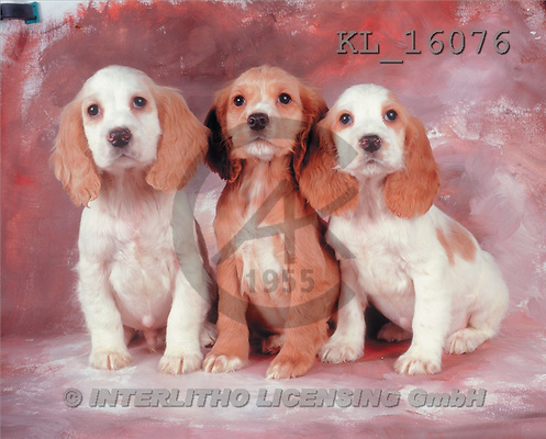 Interlitho, Alberto, ANIMALS, dogs, photos, 3 spaniels(KL16076,#A#) Hunde, perros