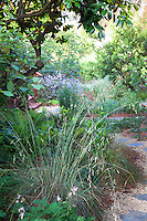 Festuca californica, flowering California fescue grass by path; California native plants, Heath-Delaney garden