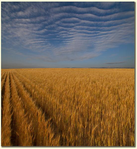 Wheatfields in eastern at sunrise, Colorado