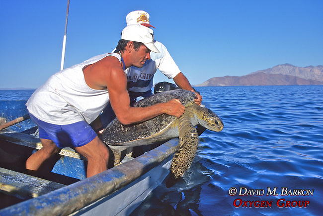 Jeff Seminoff & Yoshio Sazuki Releasing Black Sea Turtle
